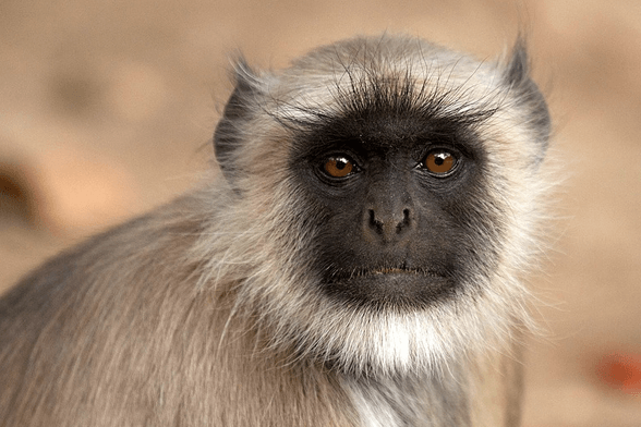 Langar Monkey - Wildlife in India Best luxury tours to Rajasthan from UK