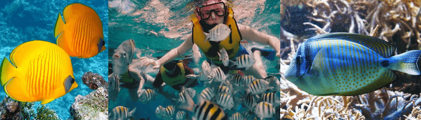 Snorkling in St Lucia and Barbados - Tropical fish of the Caribbean