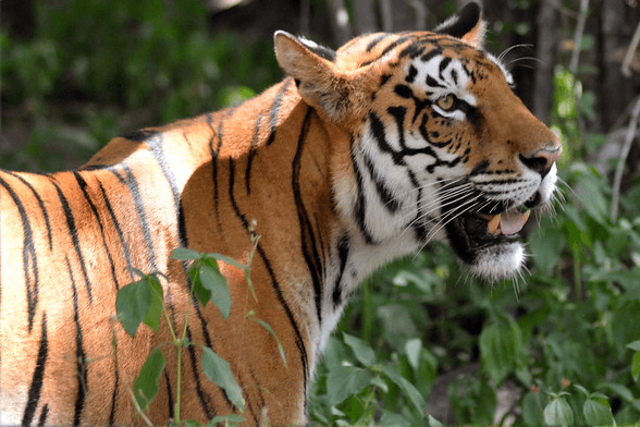 See tigers Best luxury tours to Rajasthan from UK Ranthambhore National Park