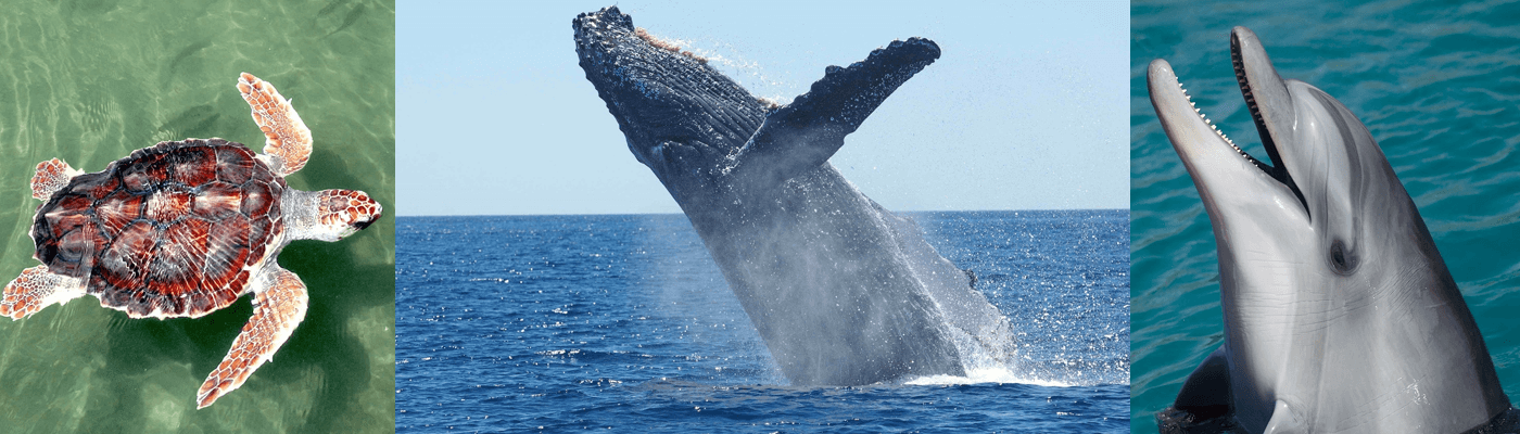 Wildlife in the Caribbean - Whale watching, Dolphins and Sea Turtles