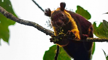 Giant Squirrel Best wildlife tour to Southern India