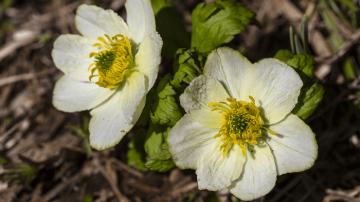 Globe Flower Tyrol Austria