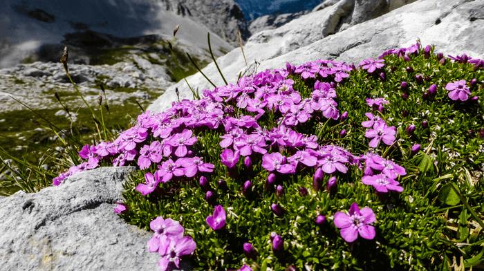 Alpine flowers at Karwendel Nature Park
